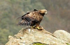 Águila de oro femenina Foto de archivo