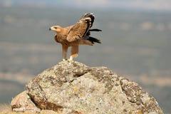 Águila de oro que descansa sobre la roca en el campo Imagenes de archivo