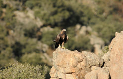 Águila de oro que mira su territorio Fotos de archivo libres de regalías