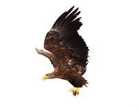 Águila de oro que vuela Imagenes de archivo