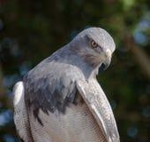 Águila de pecho negra del halcón, aguja Fotos de archivo libres de regalías
