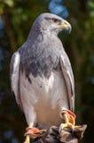 Águila de pecho negra del halcón, aguja Fotografía de archivo
