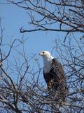 Águila de pesca Imagen de archivo libre de regalías