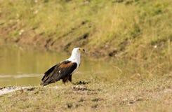 Águila de pescados africana Fotos de archivo