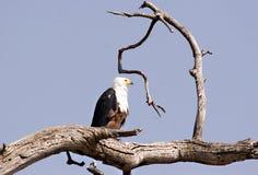 Águila de pescados africana Imagen de archivo