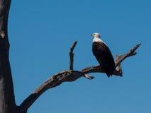 Águila de pescados africana Imagenes de archivo