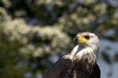 Águila de pescados africana Imágenes de archivo libres de regalías