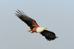 Águila de pescados africana Fotografía de archivo libre de regalías