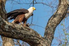 Águila de pescados africana Fotos de archivo libres de regalías