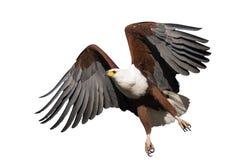 Águila de pescados africana aislada fotos de archivo