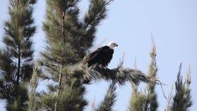 Águila de pescados africana en rama de árbol almacen de video