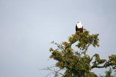 Águila de pescados africana en Uganda, África Fotos de archivo