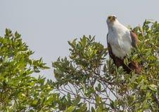 Águila de pescados africana en un árbol en el parque del humedal de ISimangaliso Imágenes de archivo libres de regalías