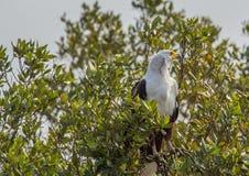 Águila de pescados africana en un árbol en el parque del humedal de ISimangaliso Fotografía de archivo