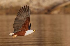Águila de pescados africana que vuela sobre el agua Imagen de archivo