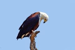 Águila de pescados africana (vocifer del Haliaeetus) Fotos de archivo libres de regalías