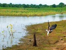 Águila de pescados de Sri Lanka imagen de archivo libre de regalías