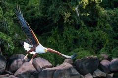 Águila de pescados el lago Malawi Fotos de archivo
