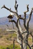 Águila de pescados llamada africana Foto de archivo libre de regalías