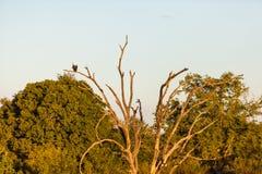 Águila de pescados solitaria en una rama fotos de archivo