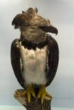 Águila del Harpia Imagen de archivo