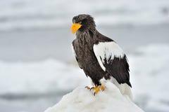 Águila del mar de Steller Imagen de archivo libre de regalías