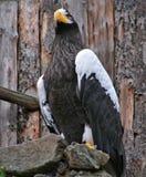 Águila del mar de Steller Foto de archivo