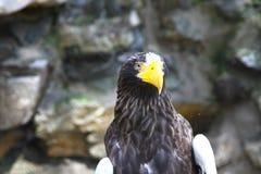 Águila del mar de Steller Imágenes de archivo libres de regalías