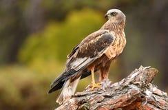 águila del pantano Foto de archivo libre de regalías