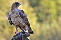Águila del ` s de Bonelli Imagen de archivo libre de regalías