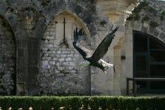 Águila del vuelo foto de archivo libre de regalías