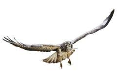 Águila del vuelo Imágenes de archivo libres de regalías