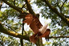 Águila del vuelo Imagen de archivo