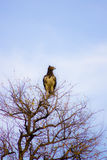 Águila en la tapa del árbol Fotografía de archivo