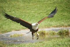 Águila en negrilla Imagen de archivo