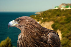 águila en un paisaje marino del fondo imagen de archivo