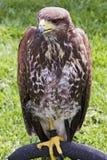 Águila en un soporte Imagen de archivo libre de regalías