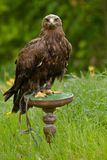 Águila en una placa de madera verde Imagen de archivo libre de regalías