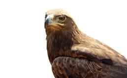 Águila escéptica aislada en el fondo blanco Foto de archivo