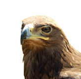 Águila escéptica del retrato aislada en el fondo blanco Fotografía de archivo libre de regalías