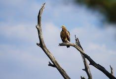 Águila Eyed Fotografía de archivo