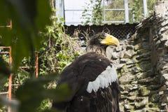 Águila grande en el parque zoológico imagen de archivo