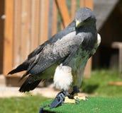 Águila gris [ ] [melanoleucus de Geranoaetus, syn : Melanoleucus del Buteo] Imágenes de archivo libres de regalías