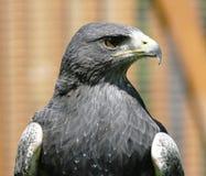 Águila gris [ ] [melanoleucus de Geranoaetus, syn : Melanoleucus del Buteo] Foto de archivo