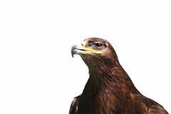 Águila imperial Imagen de archivo libre de regalías