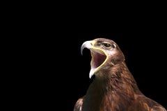 Águila imperial Fotografía de archivo