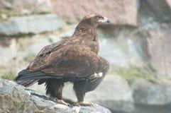Águila imperial Foto de archivo libre de regalías
