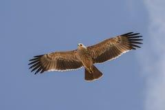Águila imperial del este Imagen de archivo