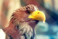 Águila joven Imagen de archivo libre de regalías
