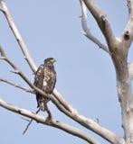 Águila joven Foto de archivo libre de regalías